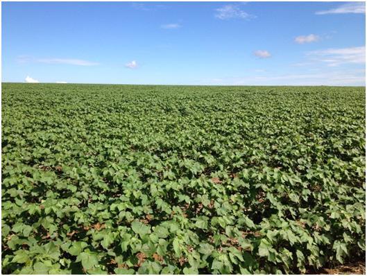 マットグロッソ州クイアバ市近郊に広がる一面の大豆畑 (筆者撮影)