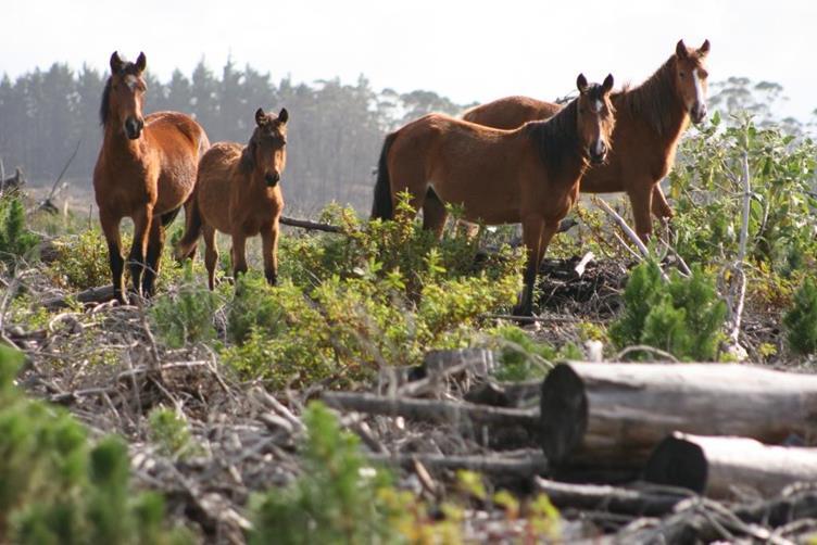 当社森林内の野生の馬たち(写真提供:Summit Forests)
