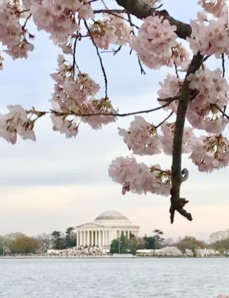 ジェファーソン記念堂と桜(ワシントン事務所 高山永子撮影)