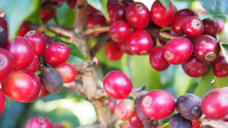 Guatemala: Coffee links Guatemala with Japan
