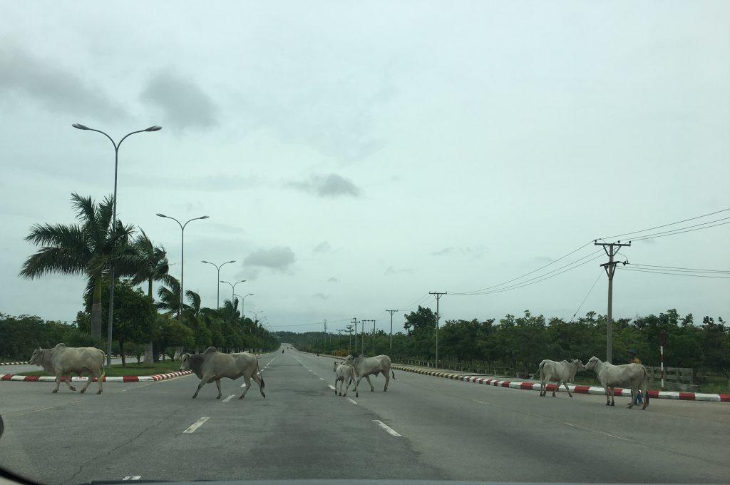 車道を闊歩(かっぽ)する牛の群れ(筆者撮影)
