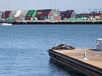 ロサンゼルス港と桟橋で昼寝をしているアザラシ(筆者撮影)